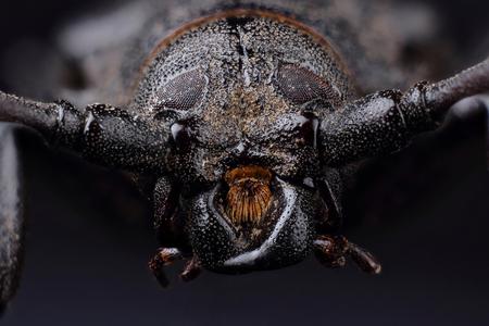 cerambycidae: Head of Longhorn beetle (Prionus coriarius). Extreme macro Stock Photo
