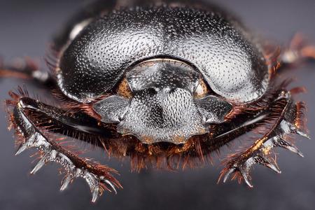 extreme macro: Dung beetle (Scarabeus sacer). Extreme macro Stock Photo