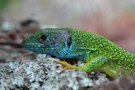 lacertidae: Head of european green lizard (Lacerta viridis). Closeup Stock Photo