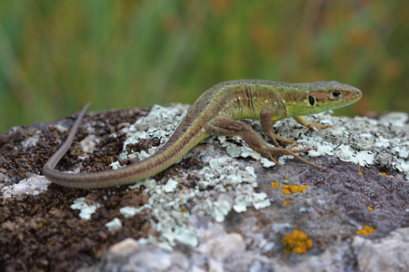 Young male of  European green lizard on stone