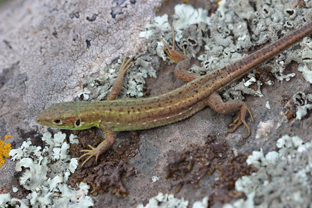 lacertidae: Young male of  European green lizard on stone