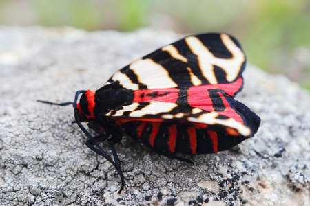 Female of Hebe Tiger Moth (Arctia festiva). Closeup