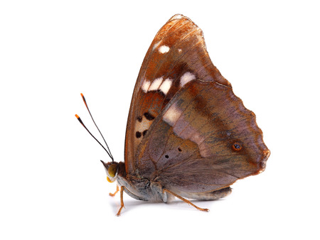 Butterfly - Lesser Purple Emperor (Apatura ilia) isolated on white