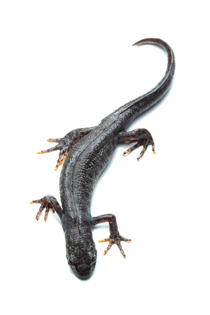 Great crested newt (Triturus cristatus) isolated on white Stock Photo