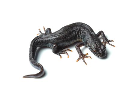 Great crested newt (Triturus cristatus) isolated on white 写真素材