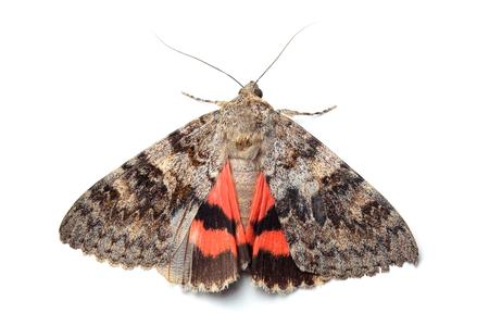 Moth - Red Underwing (Catocala nupta) isolated on white Stock Photo