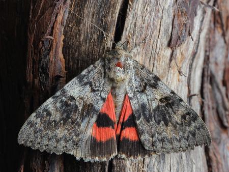 underwing: Moth - Red Underwing (Catocala nupta). Closeup Stock Photo
