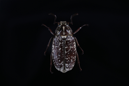Male of beetle (Polyphylla fullo) on black background