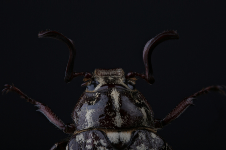 polyphylla: Head of  beetle (Polyphylla fullo) on black. Extreme macro