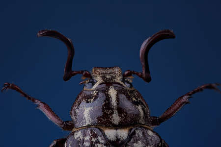 polyphylla: Head of  beetle (Polyphylla fullo) on blue. Extreme macro