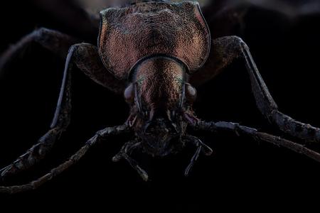 Head of Ground beetle (Carabus cancellatus). Extreme macro Stock Photo