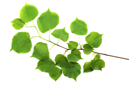 tilia cordata: Branch of small-leaved lime (Tilia cordata) isolated on white background