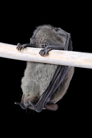 Sleeping bat isolated on black background Фото со стока