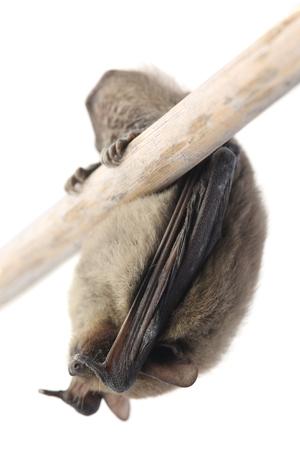 Sleeping bat isolated on white background
