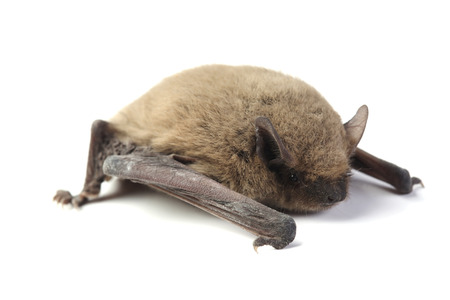 Bat isolated on white background Фото со стока