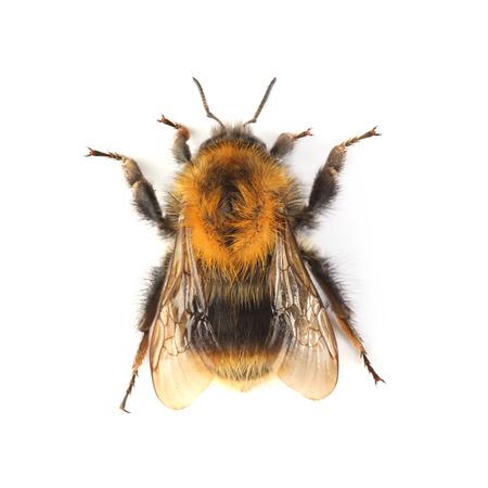 Bumblebee isolated on white background Stock Photo
