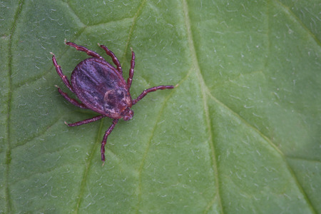Male of tick sits on leaf. Closeup