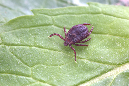 Male of tick sits on leaf in forest. Closeup