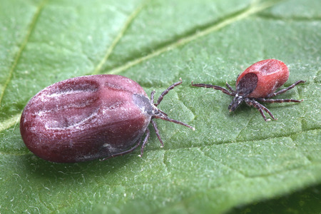 Male and female of tick sit on leaf. Closeup