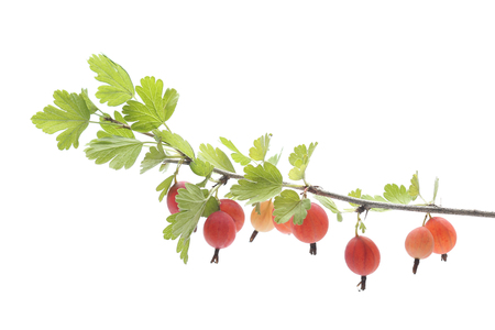 Branch of goosberry isolated on white background