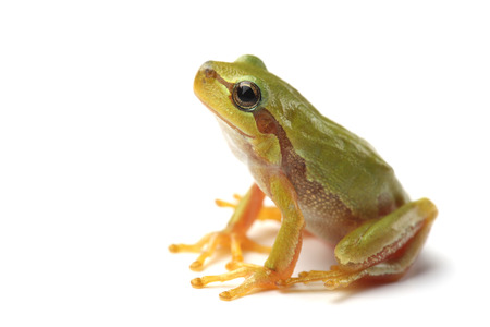 Small tree frog is looking up on white background Stock Photo