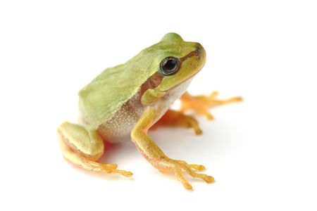 Small tree frog is looking up on white background Stockfoto