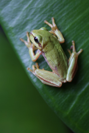 Small tree frog is sitting on green leaf. Closeup Stock Photo
