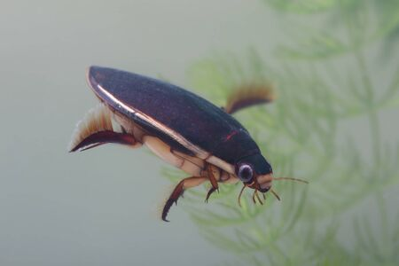 Diving beetle among water plants in pond. Closeup