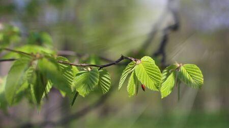 Young leaves of common hornbeam with sun rays in spring forest. Closeup