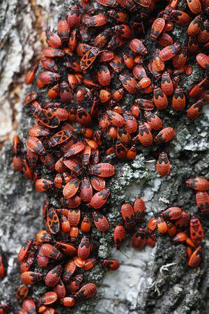 Many firebugs on birch bark. Macro