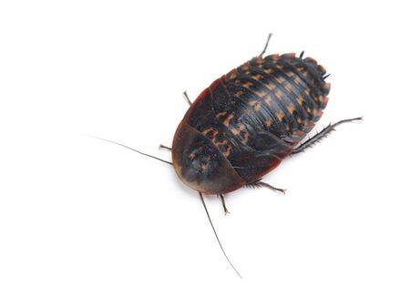 Larva of cockroach (Blaberus craniifer) isolated on white background Stockfoto