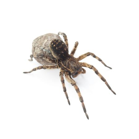 Female of wolf spider with cocoon isolated on white background