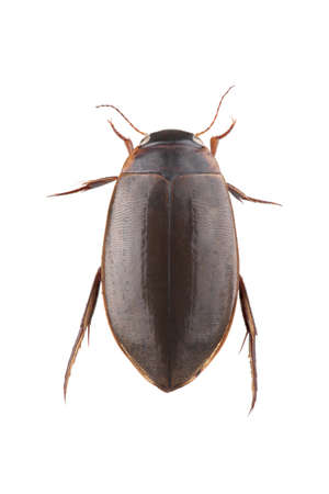 Diving beetle isolated on white background