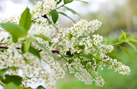 bird cherry tree photo