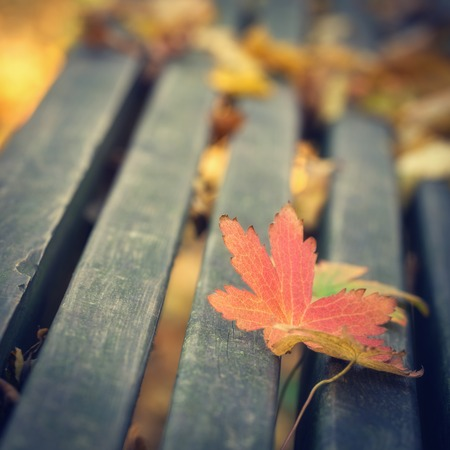 fall colors: Maple leafs on the bench during autumn season, close up photo with shallow depth of field. Stock Photo