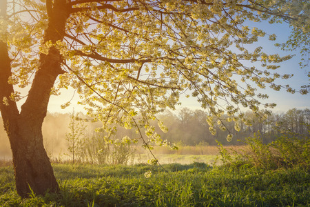 Cherry tree  blossom over sunrise in morning time Stock Photo