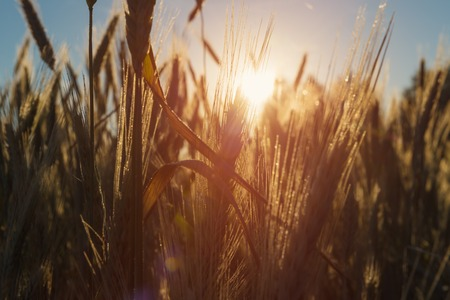 green field: Ears of wheat over sunlight
