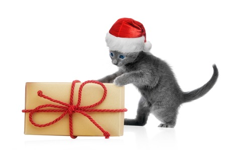 kitten small white: Kitten in santa hat with gift box, isolated on white background
