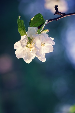 Blossoming apple tree flower over defocused lights