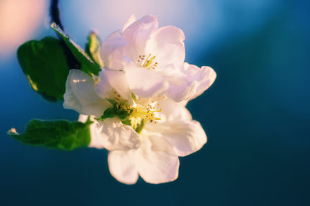 Close up of blossoming apple tree flower Stock Photo