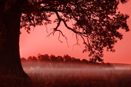 Silhouette of alone oak over pink sunset. Living Coral color of the year 2019 toned image Stok Fotoğraf