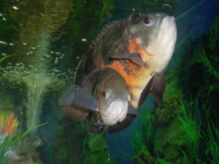 astronotus: Fish Astronotus Stock Photo