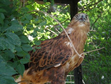 prey: Bird of prey of the family hawk Sarich