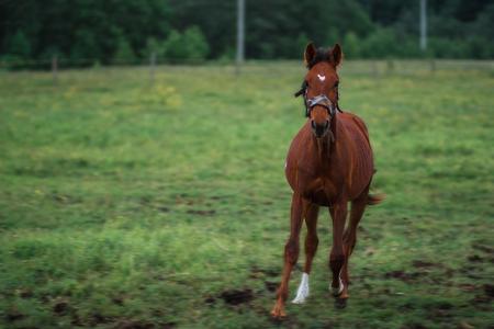 A horse runs across the field