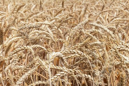 field with ears of grain wheat close up growing, agriculture farming rural economy agronomy concept