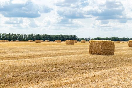 harvested grain cereal wheat barley rye grain field, with haystacks straw bales stakes cubic rectangular shape on the cloudy blue sky background, agriculture farming rural economy agronomy concept