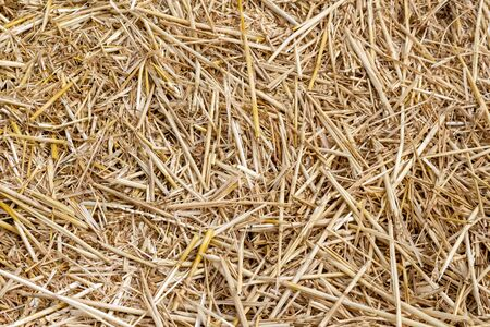 Straw thatch of grains, wheat, corn, cereals on the field after harvesting closeup agriculture farming rural economy agronomy