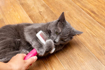 Grooming brushing gray pretty cute cat with a special brush for grooming pets care concept Banque d'images
