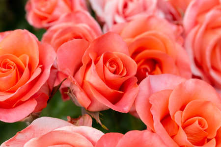 Beautiful colorful rose flowers close up soft focus