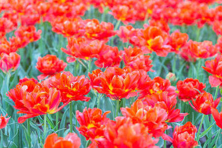 Colorful tulips fresh flowers at a blurry soft focus background close up bokeh 스톡 콘텐츠